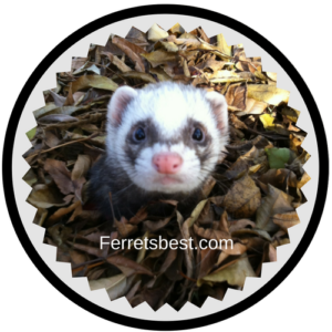 Ferrets_information