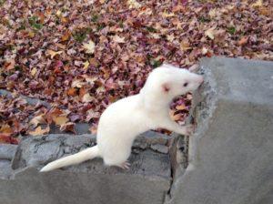 Blacked White Ferret