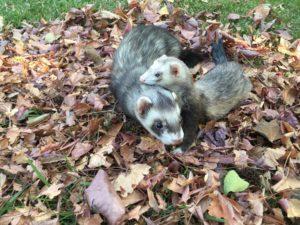 Two Cute Ferrets