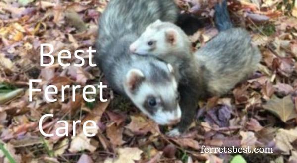 Best_ferret_care
