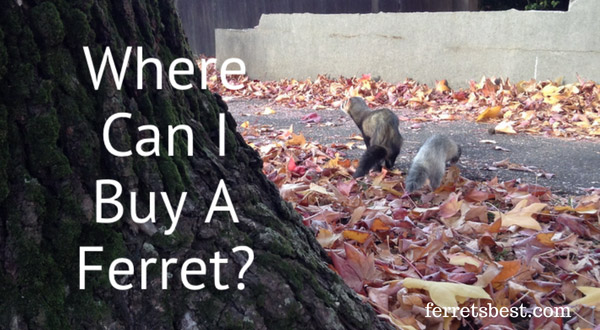Where Can I Buy A Ferret?