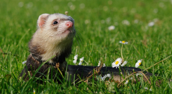 Ferret Food And Nutrition Ferrets Best