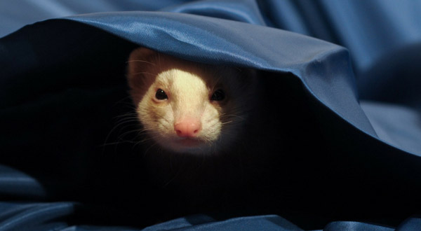 Remove Ferret Odor