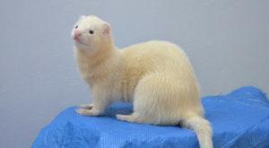 Benefits of adopting a ferret