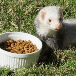 Best_ferrret_food