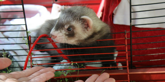 Cheap ferret cages
