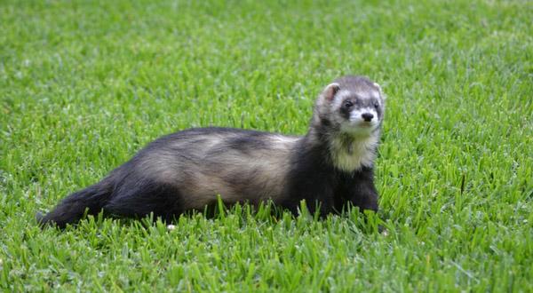 Are Ferrets Hypoallergenic?