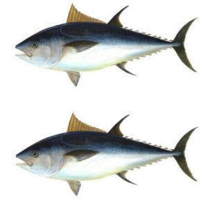 Can-ferrets-eat-tuna