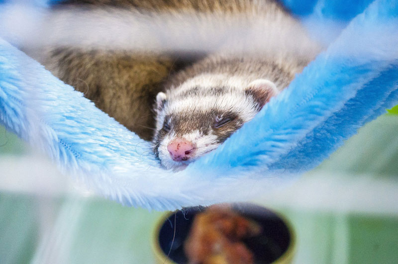 Ferret Hammocks