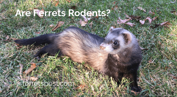 Are Ferrets Rodents?