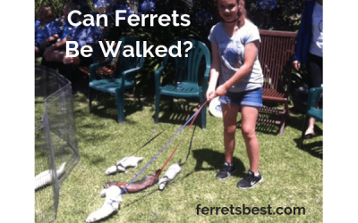 How To Walk Your Ferret