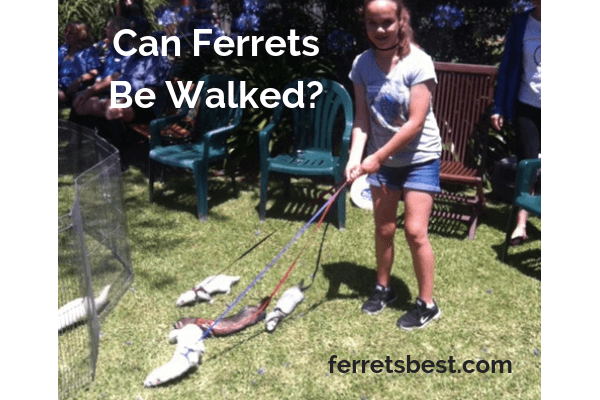 Can Ferrets be walked