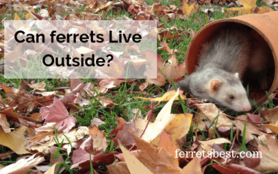 Can Ferrets Live Outside?