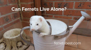 Can ferrets live alone