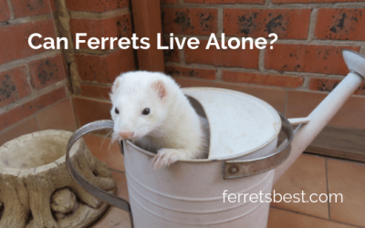 Can Ferrets Live Alone?