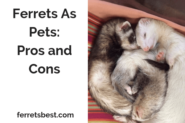 Ferrets As Pets: Pros and Cons
