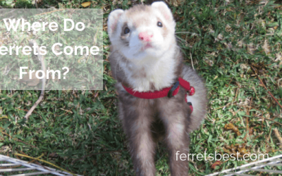 Where Do Ferrets Come From?