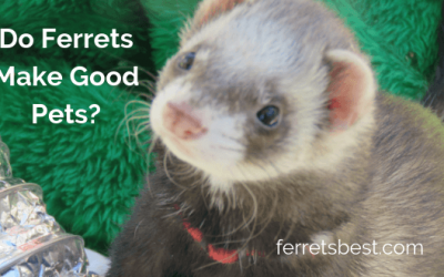 Do Ferrets Make Good Pets?
