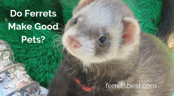 do ferrets make good pets