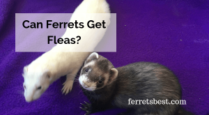This article we will discuss how to prevent your ferret from picking up fleas, as well as what to do if you find your ferret infested with fleas.