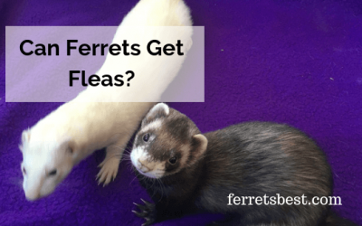 Can Ferrets Get Fleas?