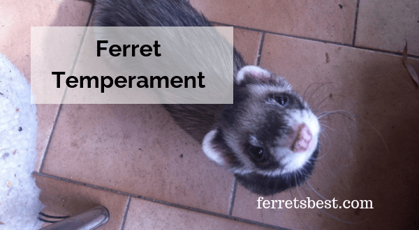 Ferret Temperament