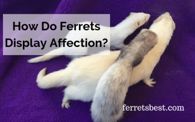 How Do Ferrets Display Affection?