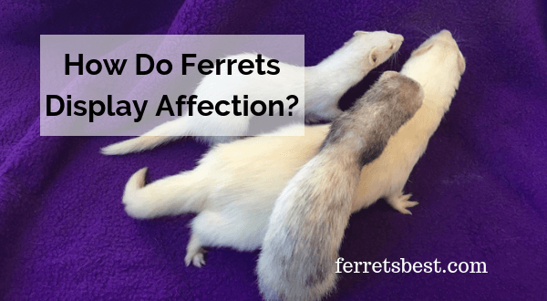 How Do Ferrets Display Affection