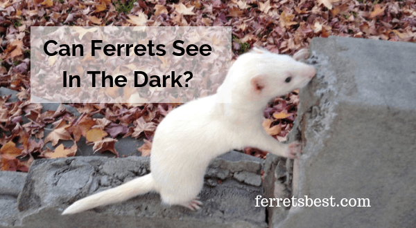 Can Ferrets See In The Dark?