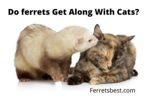 Do Ferrets Get Alone With Cats?
