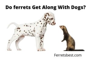 Do Ferrets Get Alone With Dogs?