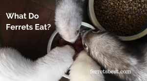 What Do Ferrets Eat
