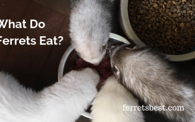 What Do Ferrets Eat?
