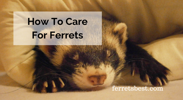 How To Care For Ferrets