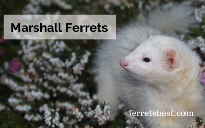 Marshall Ferrets