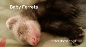 Baby ferrets