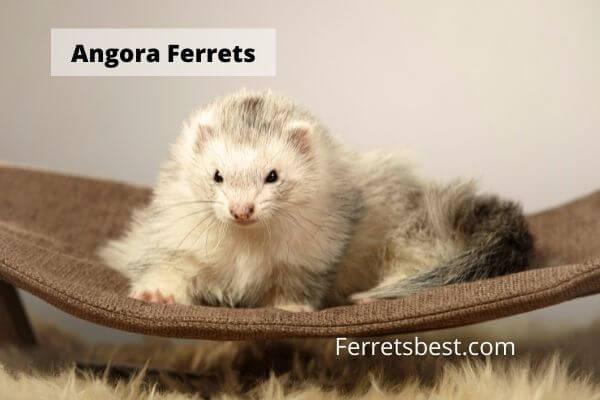 Angora Ferrets