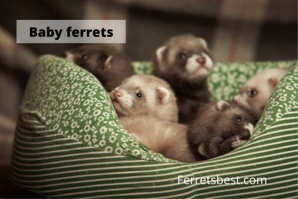 Baby Ferrets And How To Care For Them