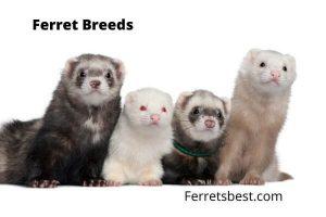Ferrets Breeds