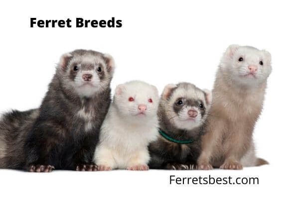 Ferret Breeds